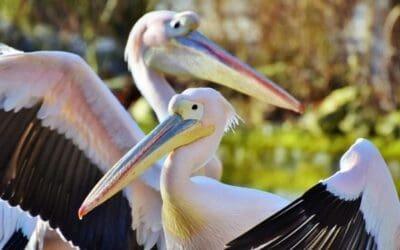 De pelikanen en andere vogels gebruiken de Hula Vallei als rustplaats (video)