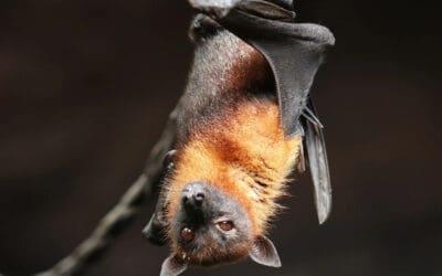 Israëlisch onderzoek: 'social distancing' van zieke vleermuizen voorkomt uitbreken epidemieën