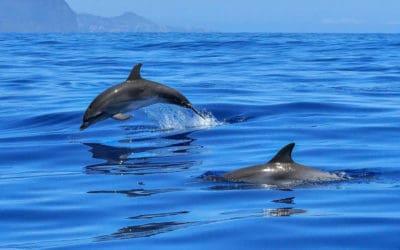 Dolfijnen in de Rode Zee bij Eilat